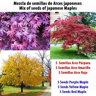 15 Semillas De Arce Púrpura, Amarillo, Rojo / Seeds Of Maple Purple, Yellow, Red