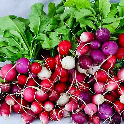 RADISH Easter Egg 50 Seeds HEIRLOOM vegetable garden AUTUMN WINTER SPRING SUMMER