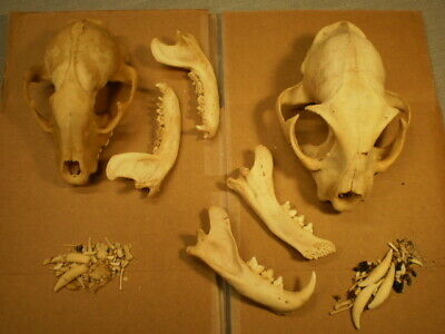 2 Taxidermy SKULLS Bobcat 5 inches HUGE + raccoon skull 4 1/2 inches