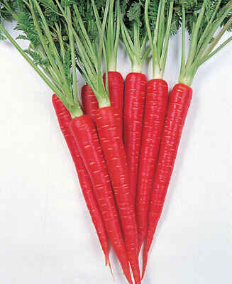 CARROT Scarlet Red 100+ Seeds HEIRLOOM vegetable garden NON-GMO open-pollinated