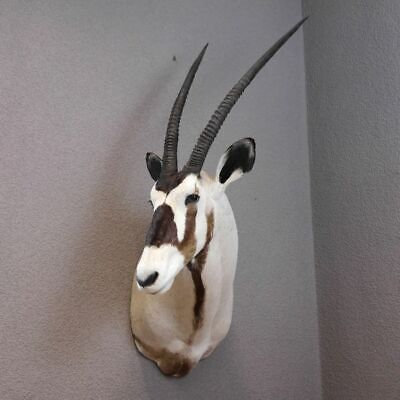 Oryx Antelope Head Preparation Taxidermy Africa African Gemsbok #95.3.11