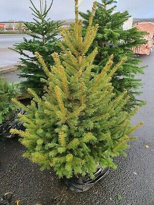 Real Norway Spruce, Picea abies,Container Grown Living  Christmas Tree.