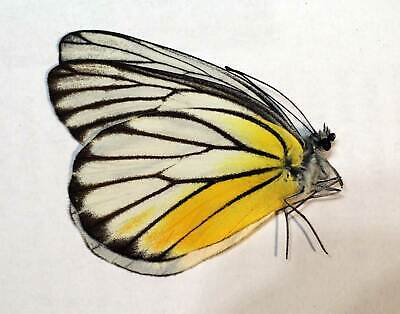 unmounted butterfly DELIAS DIXEYI