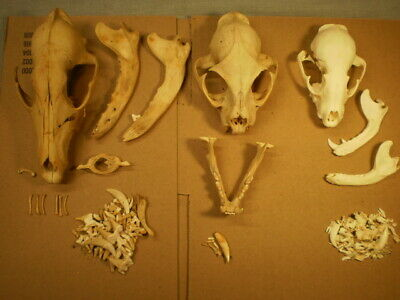 3 Taxidermy skeletons skulls for one price coyote, raccoon and bobcat