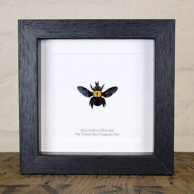 The Yellow Spot Carpenter Bee in Box Frame (Xylocopa confusa)