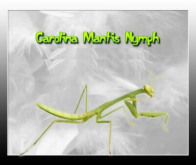 Carolina (Live) Praying Mantis L-5 to 6 Stage  ***  Educational and Fun