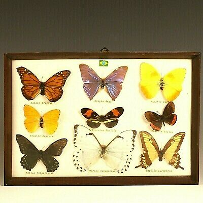 Vintage Mounted Butterfly Specimens Mid Century Convex Glass And Teak Frame
