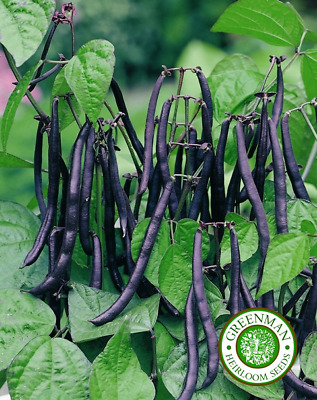 50 Graines de Haricot Nain, Purple teepee. Graines Legumes. Heirloom