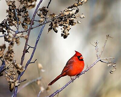 Bird Red Cardinal in Tree Winter 8x10 Photo Print Beautiful Wall Decor (A676)