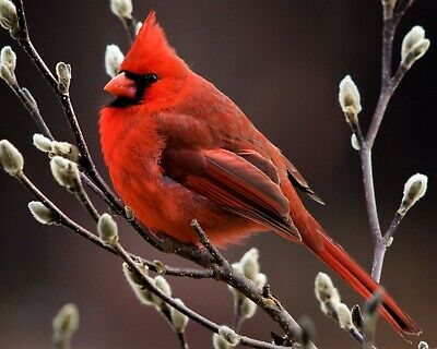 Bird Red Cardinal on Tree Branch 8x10 Photo Print Beautiful Wall Decor (A677)