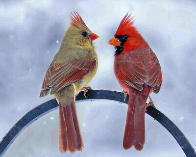 Bird Red Pair Cardinals Tree Branch 8x10 Photo Print Beautiful Wall Decor (A681)