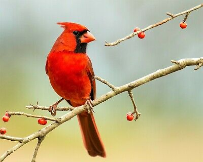 Bird Red Cardinal on Tree Branch 8x10 Photo Print Beautiful Wall Decor (A718)