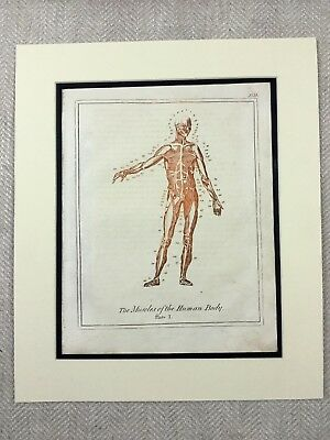 1810 Anatomy Print Engraving Muscles of the Human Body Anatomical Diagram