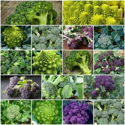 BROCCOLI Heirloom Mix 100+ Seeds vegetable garden winter veg FROST HARDY brocoli