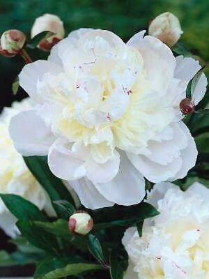 Peony Paeonia Lactiflora White 'Avalanche' Quality Bare Root Perennial Pack x1
