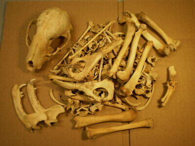 Taxidermy skeleton real Raccoon dissarticulated clean not sorted by bone type