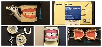 Nissin NIB Authentic Typodont Model 32 Removable Teeth Made In Japan