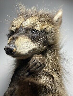 Taxidermy *Authentic* MUMMIFIED *BABY RACCOON* 100% REAL! Oddity! Skull! *R@RE!*