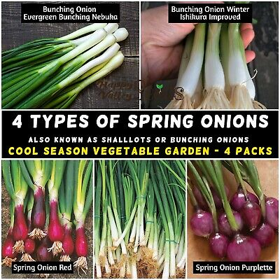 400 Seeds Economy Onion Vegetable Ishikura Bunching