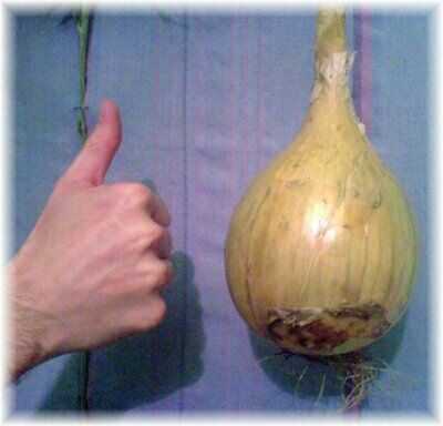 Onion GIANT AISLA CRAIG 50+ Seeds HEIRLOOM WINTER Vegetable Garden HARDY plant