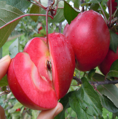 Apple Fruit Love Seeds Plants Meat Potted Fruits Tree Bonsai Red 50pcs//pack