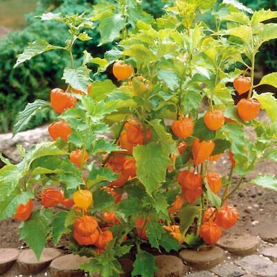 Cape Gooseberry DWARF 15+ Seeds HEIRLOOM vegetable garden GOLDEN FRUIT jam cake