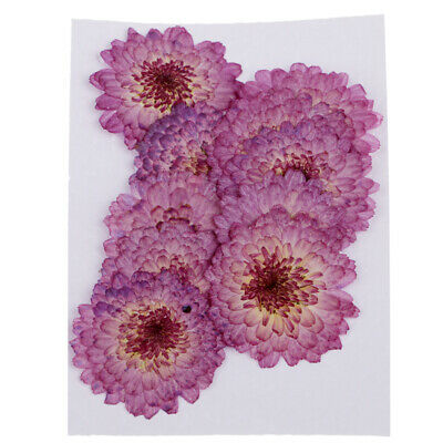 Pressed Flowers Set Dried Real Floral DIY Scrapbooking Crafts Purple Daisy