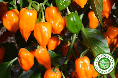 10 Graines de PIMENT Habanero Orange. Chili Seeds. Non hybrides.