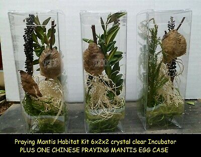 2 Praying Mantis Egg + Praying Mantis Habitat Kit 6x2x2 crystal clear Incubator