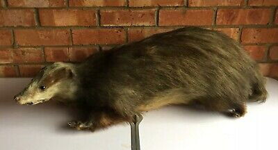 Antique Late 19th/early 20th Century Taxidermy Badger Large