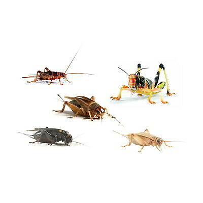 LIVEFOOD 4 tubs Locusts, Silent Crickets Brown Crickets live food for reptiles
