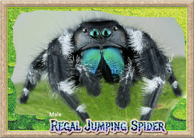 Male Regal Jumping Spider (Phiddipus regius) + Complete Habitat & Feeder Insects