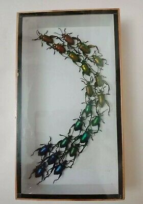 Real Bug Giant Atlas Moth M Butterfly Insect Display Taxidermy Beetle in Frame