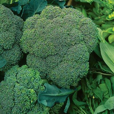 BROCCOLI Waltham 50 Seeds HEIRLOOM vegetable garden WINTER HARDY NON-GM autumn