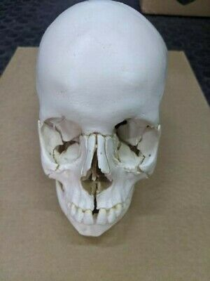 Plastic Disarticulated Skull Model - 22 Part