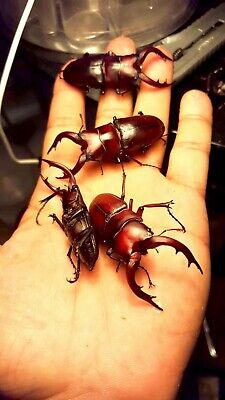 Stag beetle Spawning and Breeding substrate 1 Gallon pack----God's Hobby