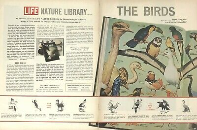 The Birds Nature Life Magazine Print Ad Vintage 1964 Animals 2 Pages Original