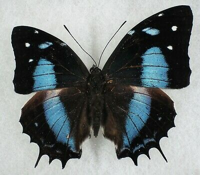 Insect/Butterfly/ Baeotus japetus - Male Aberration - RARE