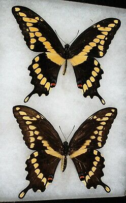 """Insect/Butterfly/ Papilio cresphontes- Pair 4.5"""""""