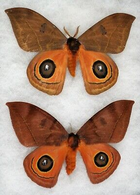 """Insect/Moth/ Automeris ssp. - Pair 4.5"""""""