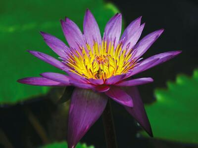 Purple / Lavender Water Lily 10 Seeds- Truly Amazing