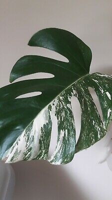 Live Cutting Monstera With Lost Variegation