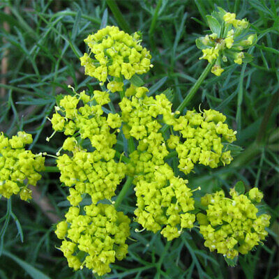 Common Fennel Herb Seeds Perennial Garden Plant /'Dragon/' 1 Packet 35 Seeds T/&M
