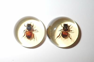 Insect Cabochon Honey Bee Apis mellifera Round 25 mm Clear 2 pieces Lot