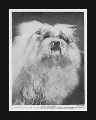 "Maltese Dog,  Champion ""Harlingen Snowman"" vintage print, authentic1935"