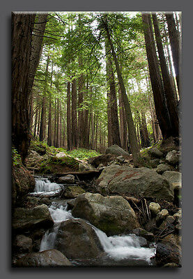 Sacred Stream-- Large Fine Art Giclee Canvas Gallery Wrap Redwood Forest Trees