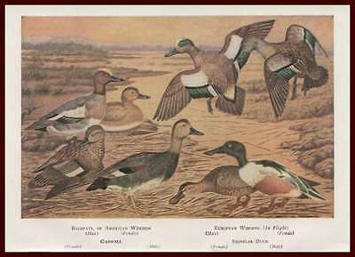Ducks, Widgeon, Gadwall, Shoveler, Ducks,  by Clement Davis, Vintage Print 1947