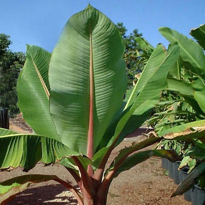 Snow Banana - 25 Quality Seeds - Ensete glaucum