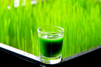 Healthy Organic Wheat Grass Seed for Juice  1 Ounce to 25 lbs Free Shipping