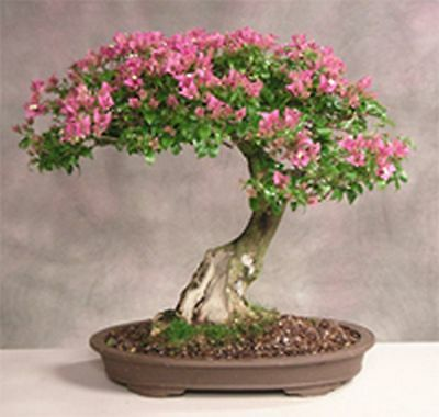 how to grow a bonsai tree from seed